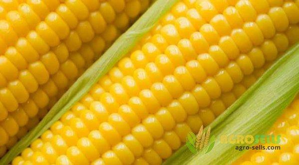 Предлагаем купить семена кукурузы
