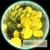 Семена озимого и ярового рапса от производителя Euralis Semences