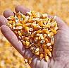 Кукуруза FOB Черное море
