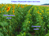 Насіння соняшника гібриди меркурій / семена подсолнечника