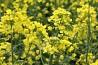 Інститут олійних культур НААН реалізує високоякісне насіння ріпаку
